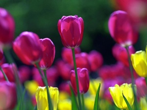Desktop Wallpaper: Purple Tulips