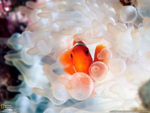 Desktop Wallpaper: Clownfish