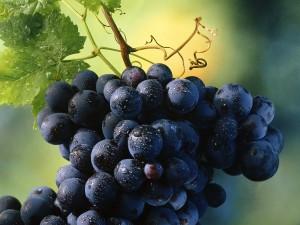 Desktop Wallpaper: Ripe Grapes