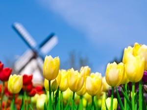 Desktop Wallpaper: Holland Flowers