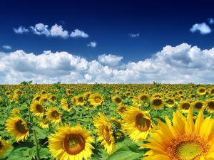 Field of Sunflowers - скачать обои на рабочий стол