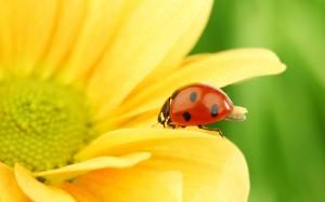 Desktop Wallpaper: Ladybird on the Yell...