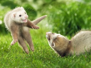 Desktop Wallpaper: Ferrets
