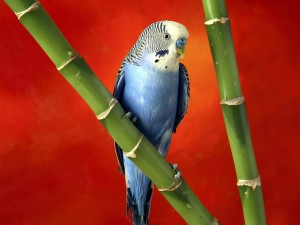 Desktop Wallpaper: Parrot on a Bamboo S...