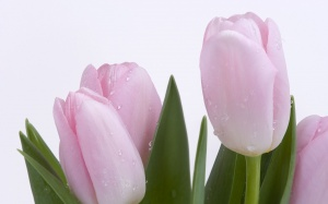 Desktop Wallpaper: Tulips of a Pastel C...