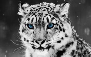 Desktop Wallpaper: Snow Leopard Head