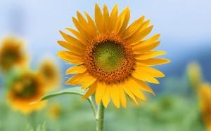 Desktop Wallpaper: Sunflower