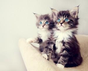 Desktop Wallpaper: Two Cute Cats