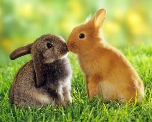 Desktop Wallpaper: Kissing Bunnies