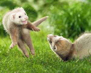 Desktop Wallpaper: Playful Ferrets