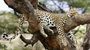 Desktop Wallpaper: Lazy Jaguar