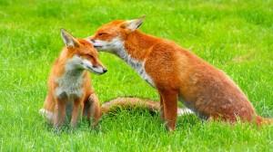 Desktop Wallpaper: Foxes