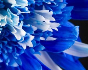 Desktop Wallpaper: Blue Flowers