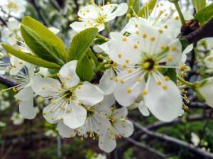 Desktop Wallpaper: Apple Tree in Blosso...