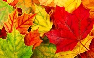 Desktop Wallpaper: Maple Leaves in Autu...