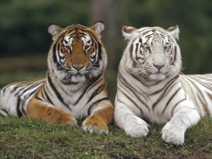 Two Tigers - скачать обои на рабочий стол