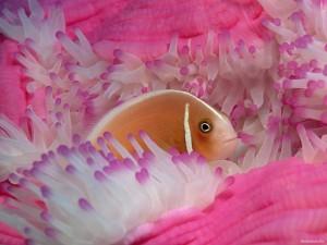 Desktop Wallpaper: Fish in the Actinia