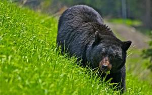 Desktop Wallpaper: Grizzly Bear