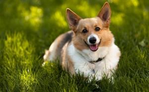 Desktop Wallpaper: Running Dog