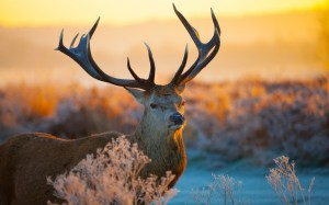 Desktop Wallpaper: Beautiful Deer