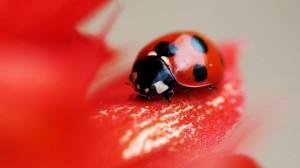 Desktop Wallpaper: Ladybird on the Peta...