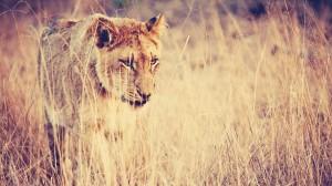 Desktop Wallpaper: Lioness Hunt