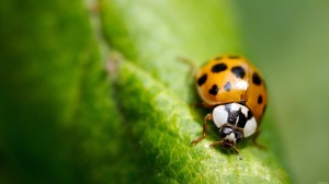 Desktop Wallpaper: Orange Ladybird on t...