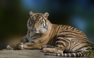 Desktop Wallpaper: Tiger with Blue Eyes