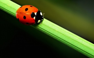 Desktop Wallpaper: Ladybird on the Stal...