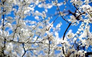 Desktop Wallpaper: Spray of Blossom