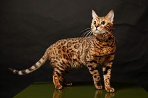 Desktop Wallpaper: Bengal Cat