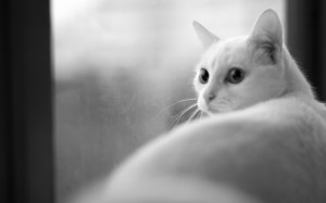 Desktop Wallpaper: White Cat