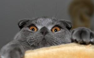 Desktop Wallpaper: Grey Cat