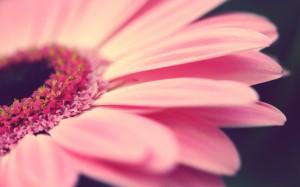 Desktop Wallpaper: Pink Multi Petaled F...