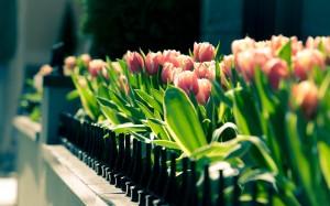 Desktop Wallpaper: Pink Tulips