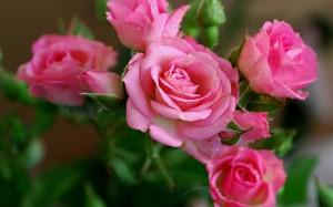 Desktop Wallpaper: Pink Rose