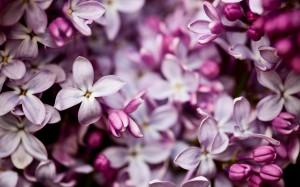 Desktop Wallpaper: Purple And White Flo...