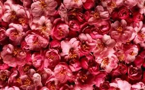Desktop Wallpaper: Red Flowers