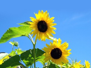 Desktop Wallpaper: Yellow Sunflower