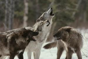 Desktop Wallpaper: Black And Brown Wolf