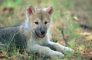 Desktop Wallpaper: Brown Wolf
