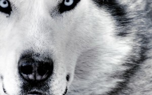 Desktop Wallpaper: Grey Wolf