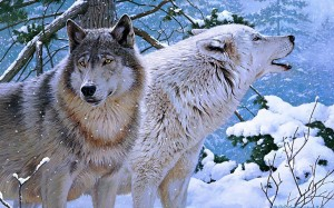 Desktop Wallpaper: White Wolf