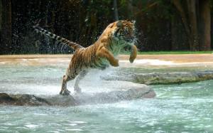 Desktop Wallpaper: Tiger