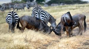 Desktop Wallpaper: Plain Zebra