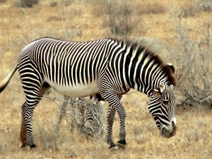 Desktop Wallpaper: Plains Zebra