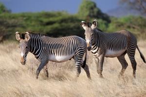 Desktop Wallpaper: 2 Zebras Over Brown ...