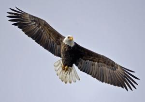 Desktop Wallpaper: American Eagle