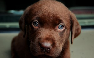 Desktop Wallpaper: Chocolate Labrador R...