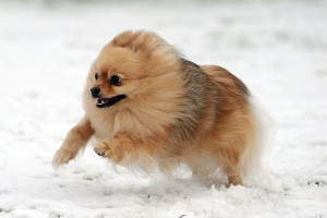 Desktop Wallpaper: Lemon Pomeranian Dog